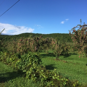 apple-picking-1